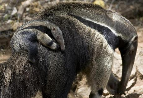 A picture taken May 18, 2009 shows giant anteaters at the Israeli zoo of Ramat Gan, near Tel Aviv (AFP Photo/Jonathan Nackstrand)