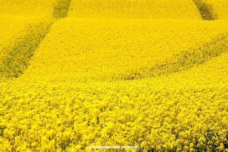 Yellow Fields1 Beautiful and Dreamy Pictures of Denmark (Gallery)