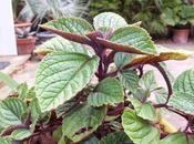 Favourite Plant Week Plectranthus Oertendahlii