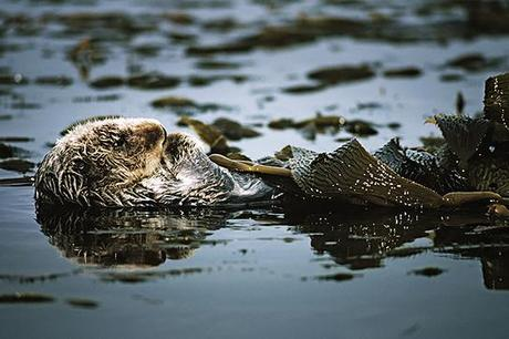 Another Reason to Save Sea Otters: They're Helping Fight Climate Change