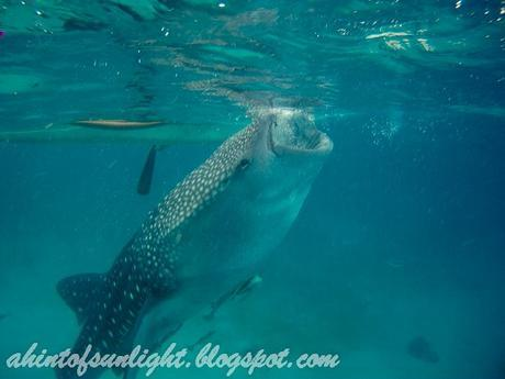 Swimming with the Whale Sharks of Oslob, Cebu
