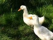Ducks (Angkus Angma)