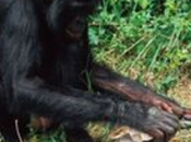 Group Chimpanzees Seem Have Mastered Fire Congo