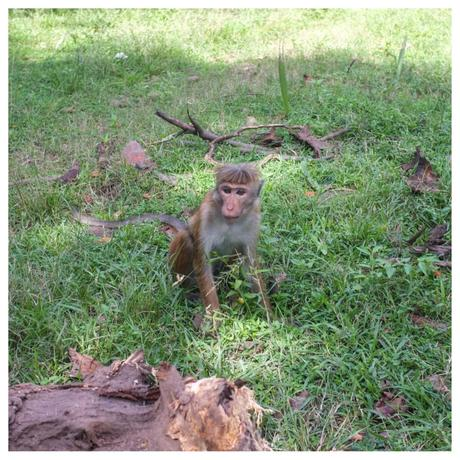 There's no Sri Lanka without monkeys.
