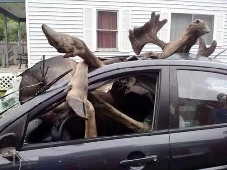Moose vs. car2