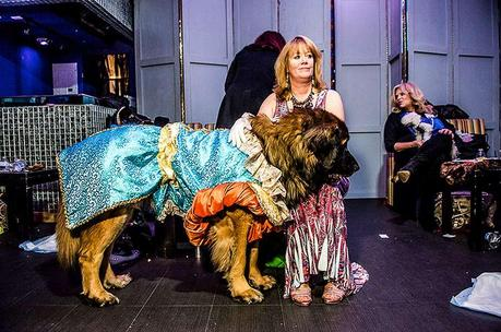 Large dog dressed up in Dog pageant