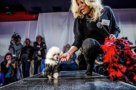 Poodle on stage with owner in dog pageant